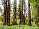 Picture of Redwood Forest